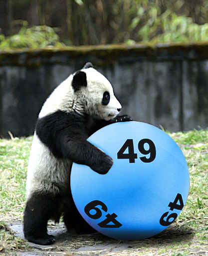 Panda playing with a lottery ball