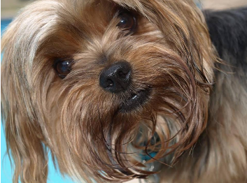 dog, lucky dogs, dogs that bring good luck, Yorkie